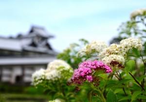鶴丸休憩所前のシモツケ